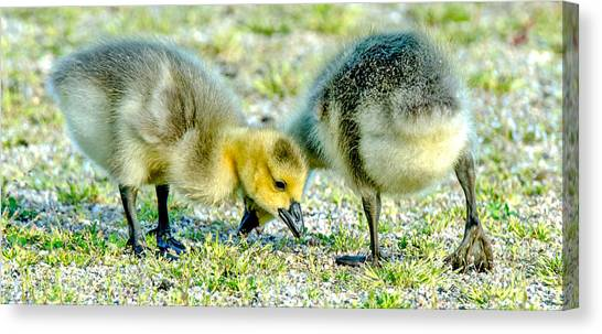 Goslings Snacking Canvas Print