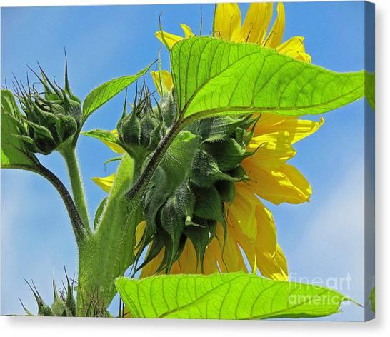 Gospel Flat Sunflower #2 Canvas Print
