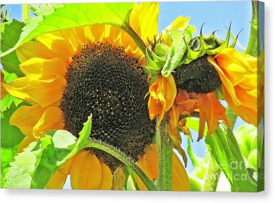 Gospel Flat Sunflowers Canvas Print