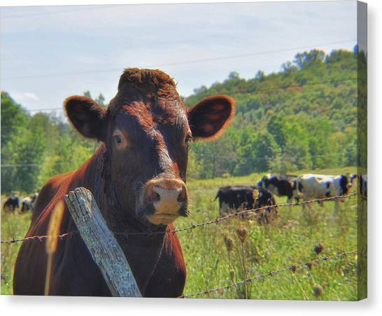 Got Milk Herd Canvas Print by JAMART Photography