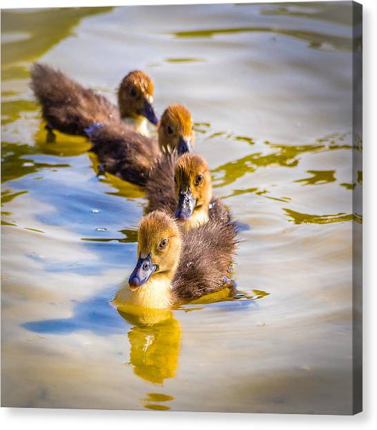 Got My Ducks In A Row Canvas Print