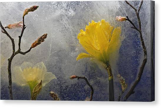 Daffodils Canvas Print - Earth To Heaven by Carmen Moise