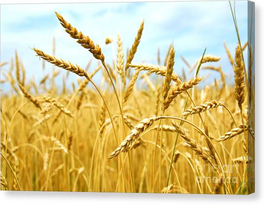 Thanksgiving Canvas Print - Grain Field by Elena Elisseeva