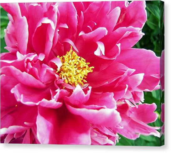 Gram's Peony Canvas Print by JAMART Photography