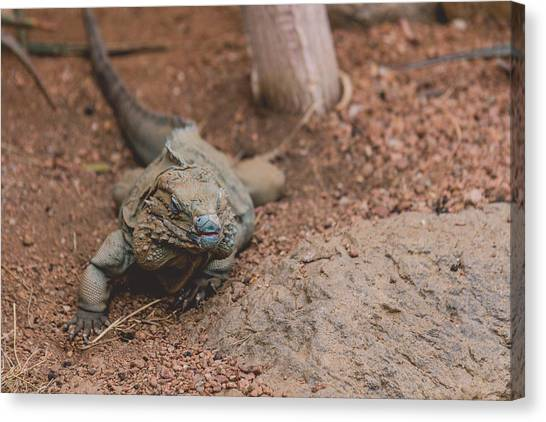 Reptiles Canvas Print - Grand Cayman Blue Iguana by Jamie Cook