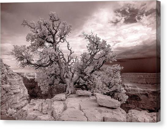 90285 Grand Cyn Pinon On Rock White Canvas Print
