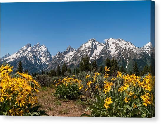 Grand Teton Canvas Print - Grand Teton Arrow Leaf Balsamroot by Brian Harig