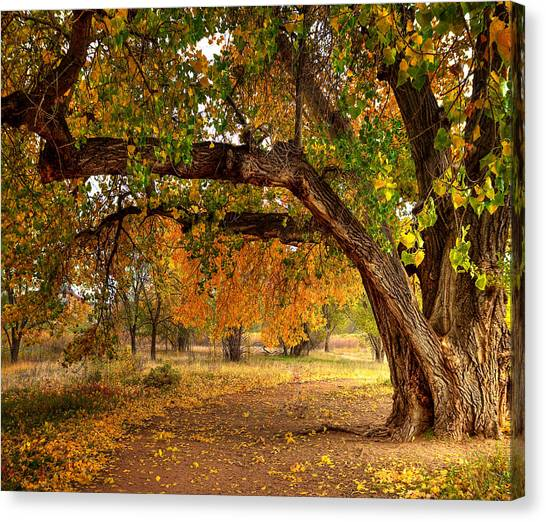 Grandfather Cottonwood Canvas Print