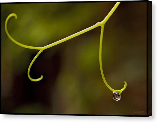 Grape Drop Canvas Print by Daniel G Walczyk