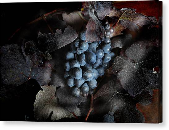 grape vine I Canvas Print by Jon Daly