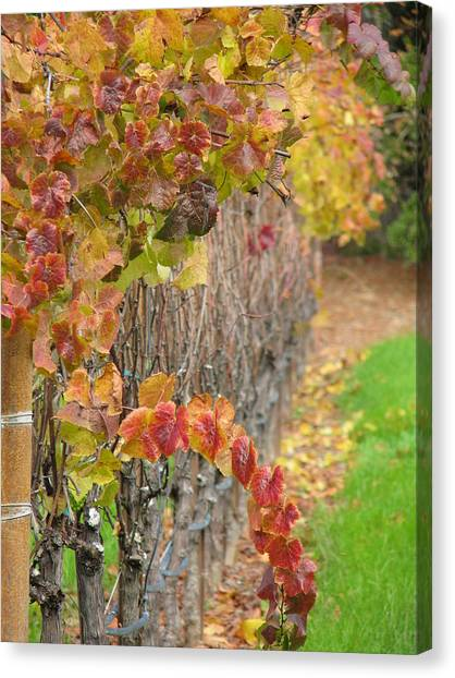 Grape Vines In Fall Canvas Print by Jeff White