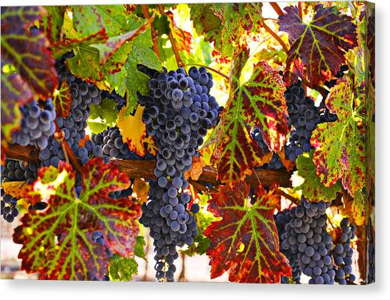 Winery Canvas Print - Grapes On Vine In Vineyards by Garry Gay
