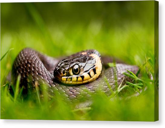 Snakes Canvas Print - Grass Snake - Natrix Natrix by Roeselien Raimond