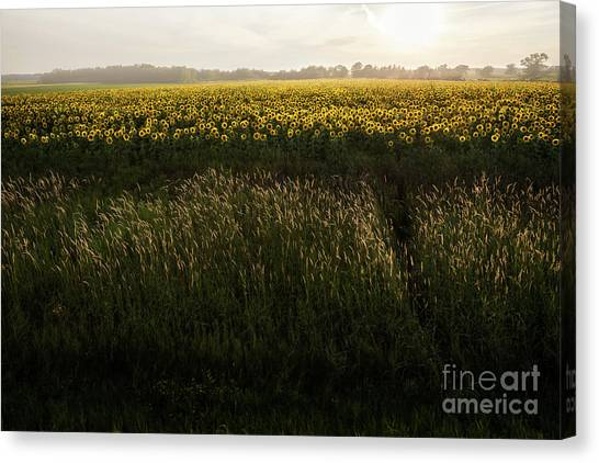Grasses And Sunflowers 1 Canvas Print by Ernesto Ruiz