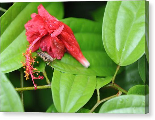Grasshopper And Hibiscus Canvas Print by Jessica Rose