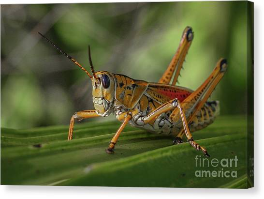 Canvas Print featuring the photograph Grasshopper And Palm Frond by Tom Claud