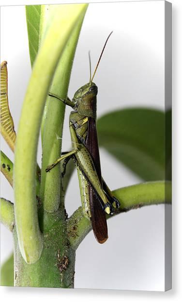 Canvas Print - Grasshopper by Evelyn Patrick