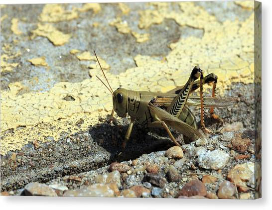 Grasshopper Laying Eggs Canvas Print