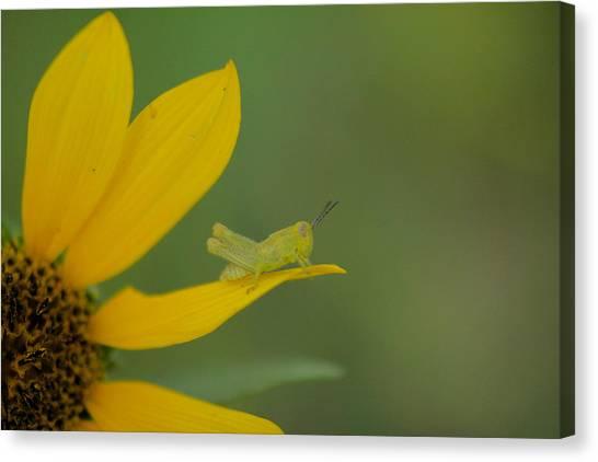 Little Things Canvas Print - Grasshopper On A Flower Petal by Jeff Swan