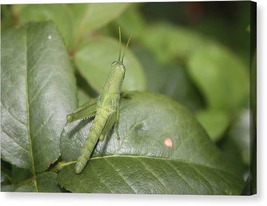 Grasshopper Canvas Print by Paula Coley