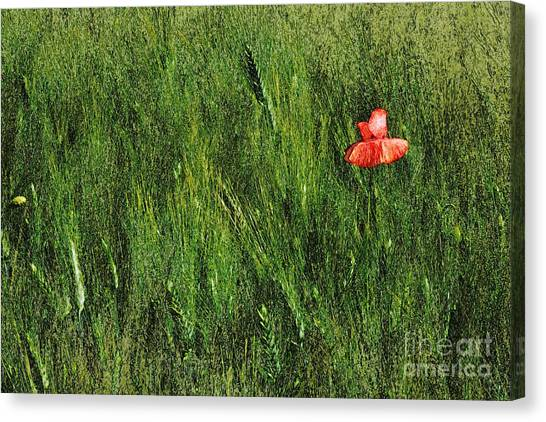 Grassland And Red Poppy Flower 2 Canvas Print