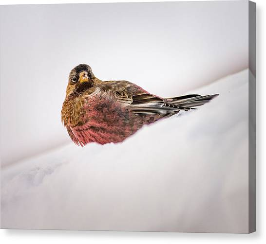 Canvas Print featuring the photograph Gray Capped Rosy Finch by John Brink