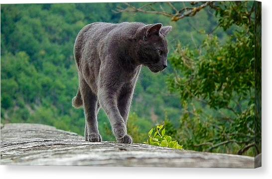 Gray Cat Stalking Canvas Print