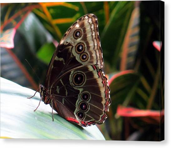 Gray Cracker Butterfly Canvas Print