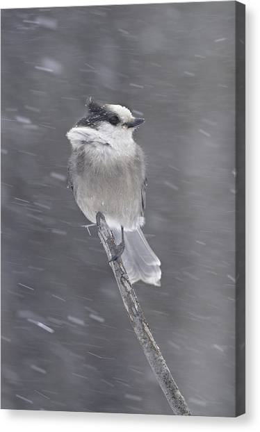 Gray Jay Canvas Print by Philippe Francis