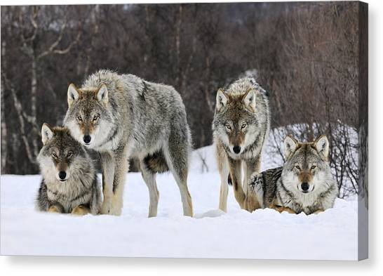 Carnivore Canvas Print - Gray Wolves Norway by Jasper Doest