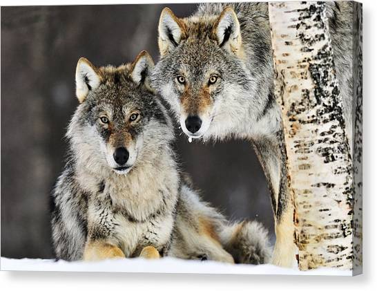 Canvas Print featuring the photograph Gray Wolf Canis Lupus Pair In The Snow by Jasper Doest