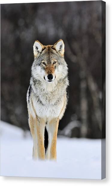 Wolves Canvas Print - Gray Wolf In The Snow by Jasper Doest