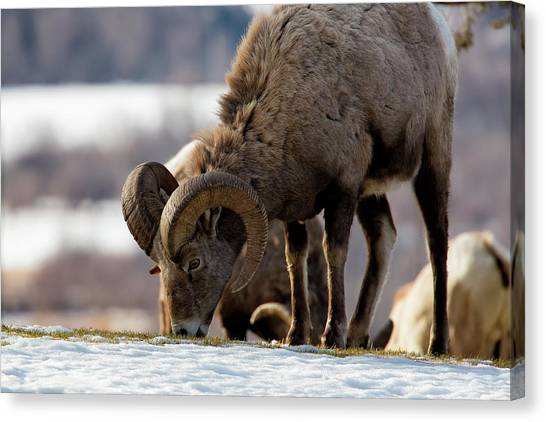 Grazing Big Horn Canvas Print
