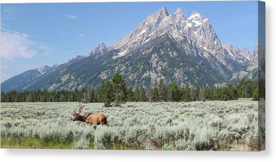 Grazing Elk In Grand Teton National Park Canvas Print