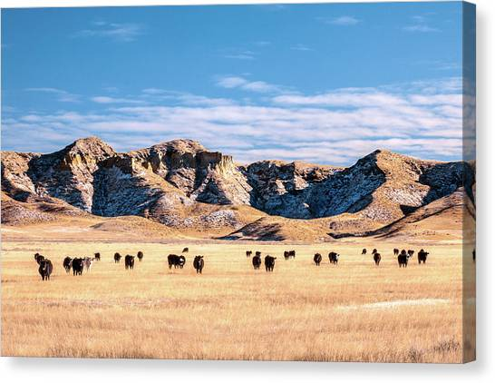 Angus Steer Canvas Print - Grazing In The Badlands by Todd Klassy