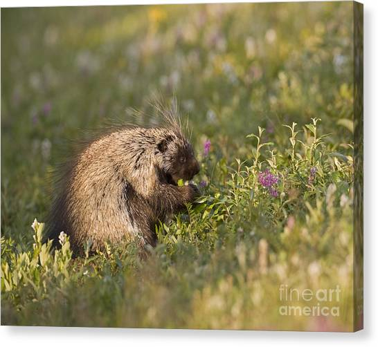 Grazing Porcupine Canvas Print by Tim Grams