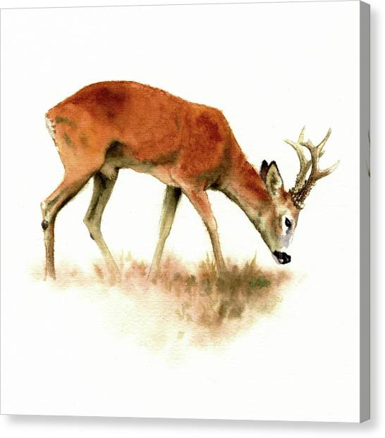 Grazing Roebuck Watercolor Canvas Print