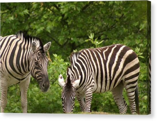 Grazing Zebras Canvas Print by Sonja Anderson