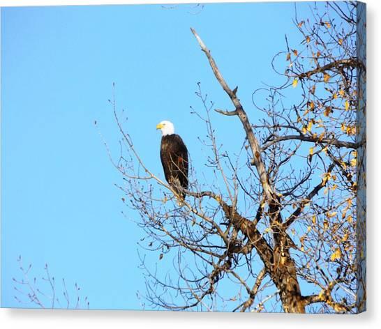 Great American Bald Eagle Canvas Print