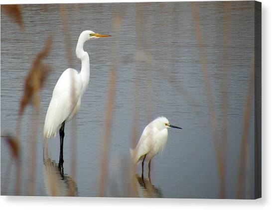 Great And Snowy Egret Canvas Print by Donald Cameron