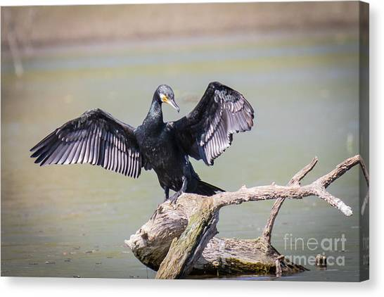 Great Black Cormorant Drying Wings After Fishing Canvas Print