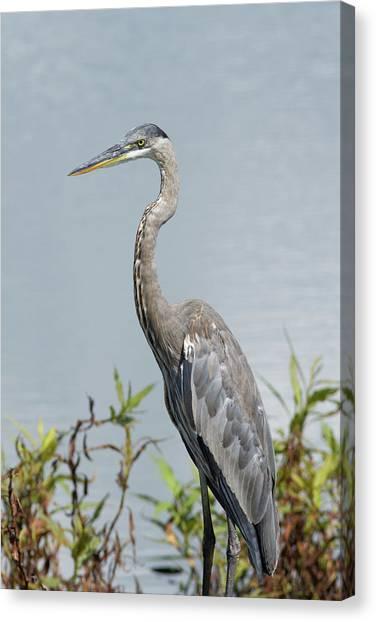 Great Blue Heron #2 Canvas Print