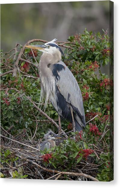Great Blue Heron And Nestling Canvas Print