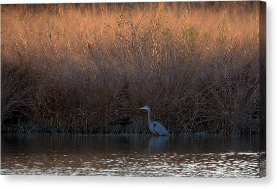 Great Blue Heron And Sunlit Field Canvas Print