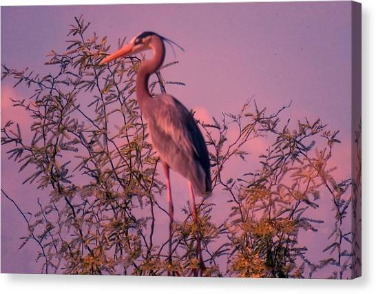 Great Blue Heron - Artistic 6 Canvas Print