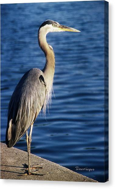 Great Blue Heron At Put-in-bay Canvas Print