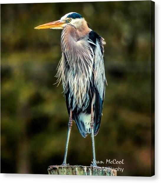 Water Birds Canvas Print - Great Blue Heron #birdwatching by Joan McCool