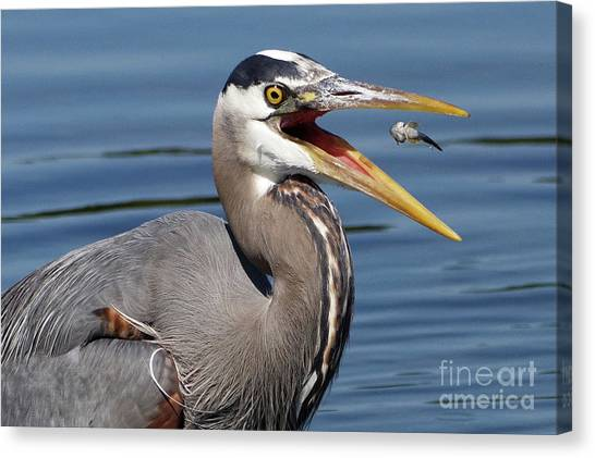 Great Blue Heron Feast Canvas Print
