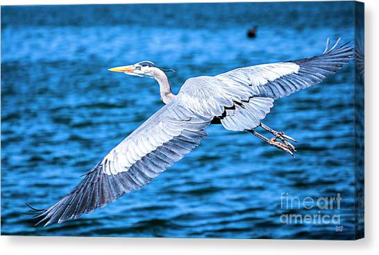 Great Blue Heron Flight Canvas Print