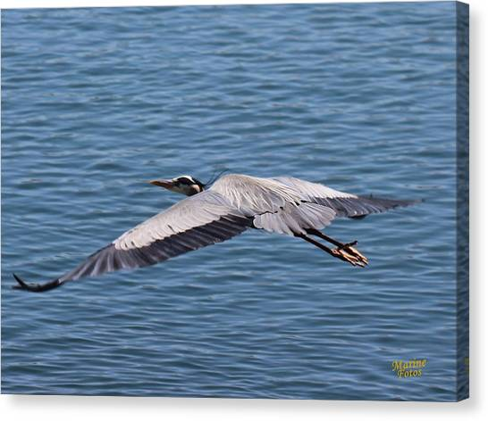 Great Blue Heron Flying Over Morro Bay Canvas Print